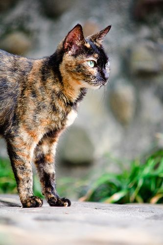 Tortoiseshell cat, my favorite coloring ever!! Genetically a mistake but truly beautiful!!!