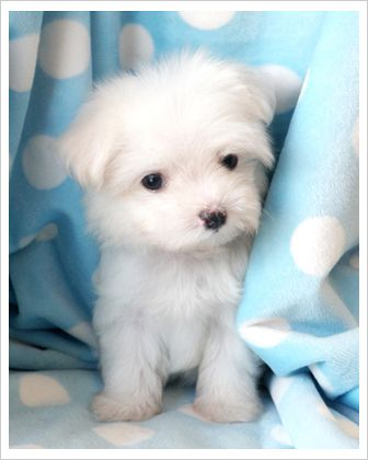 This Tiny Little Thing Weighs Just About 2 Lbs Full Grown Maltese