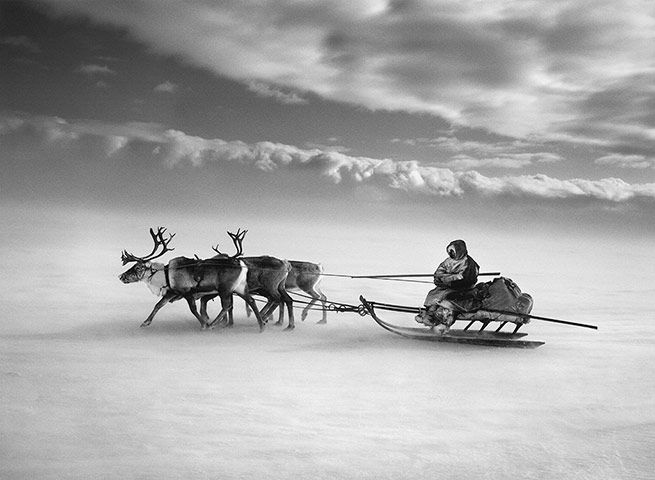 With the nomadic Nenet in Siberia: The larger sledges are driven by the women, with as many as 10 sledges forming a long caravan. The men drive smaller sledges since they go faster: it is the men's job to regroup the herd around the camp each morning and, often with the help of dogs, to keep the reindeer moving in a single direction throughout the day. Image by Sebastião Salgado