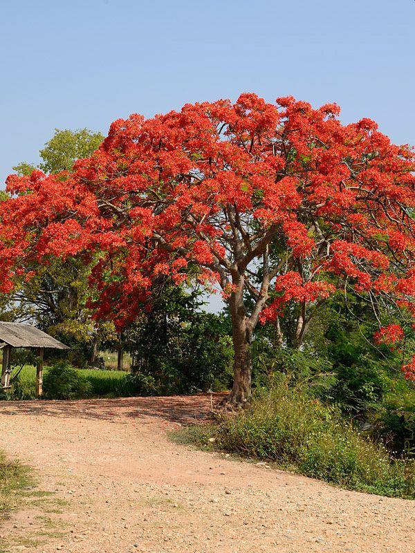 Flamboyant Royal Poinciana Tree Delonix Regia, xd landscapers pot