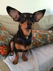 Jackie the Chiweenie (wildsheepchase) Tags: chiweenie dogswithbigears ears