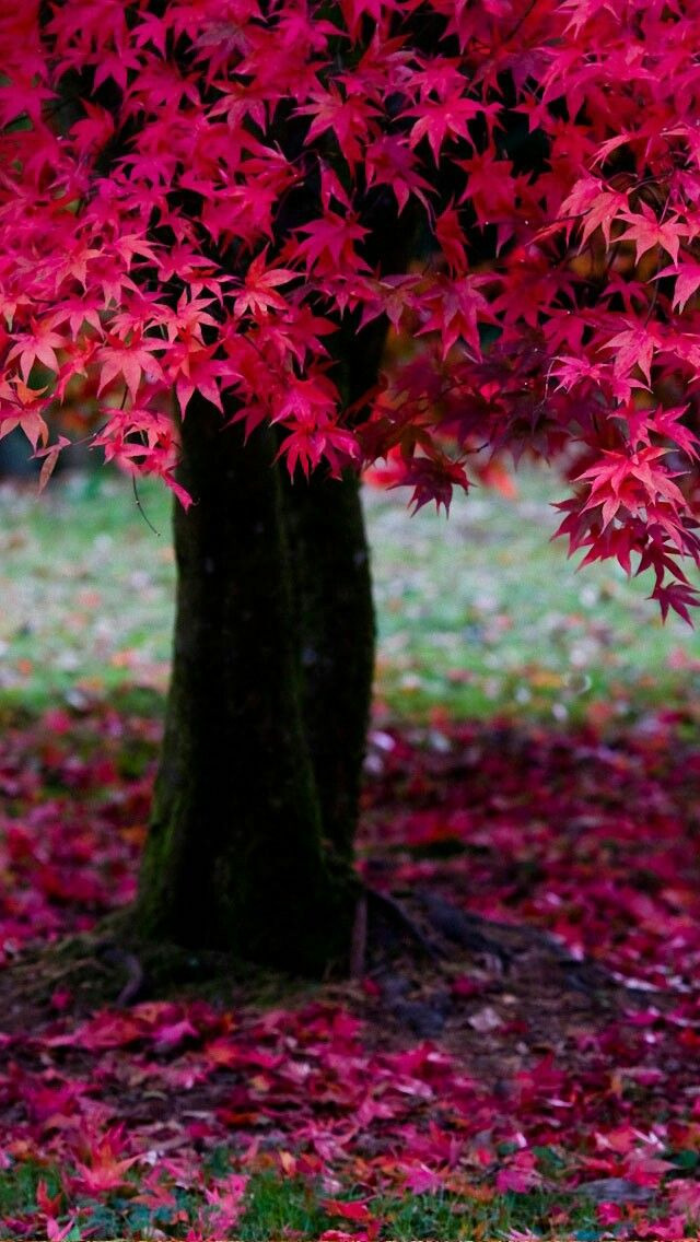 Pretty red Fall leaves ~