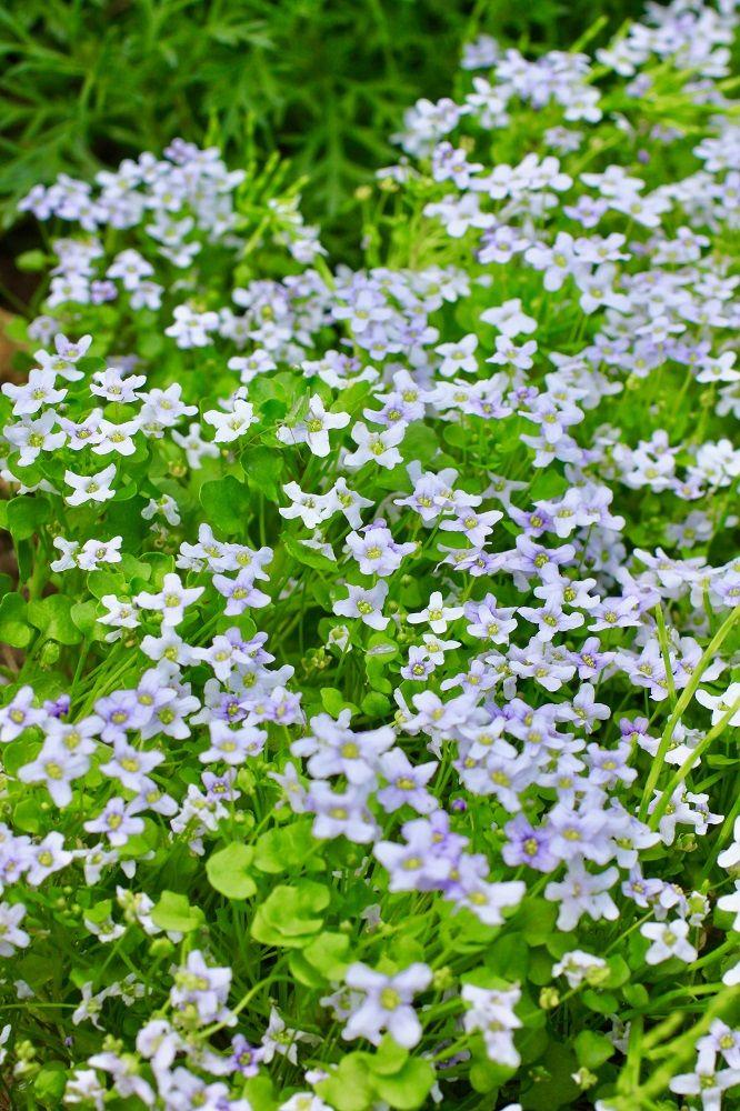 グラウンドカバーに最適な植物10選 足元のカバーや雑草対策に活用 ハーブ 庭 小さなハーブガーデン グラウンドカバー