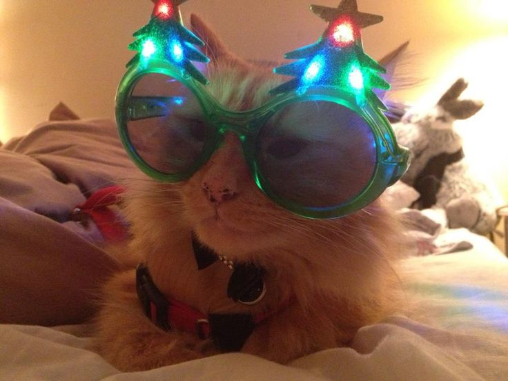 Maurice Lecroix, our practice puss, trying out his Xmas eyewear.