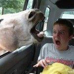 animal crazy into car
