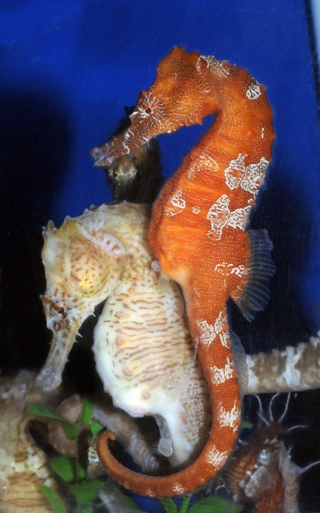 738 best images about nature seahorses of course on for Seahorse fish tank