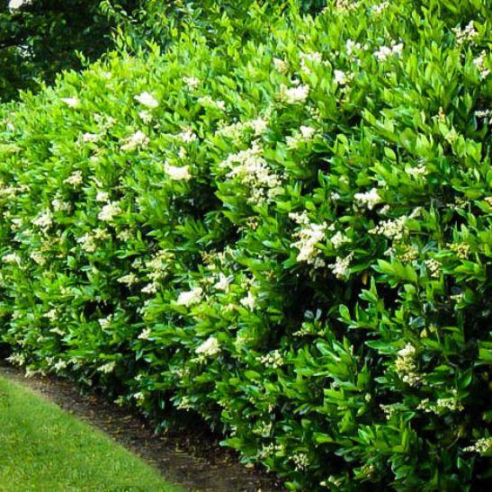 Wavy Leaf Privet Ligustrum | The Tree Center™