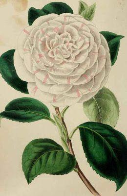 La Madama Bianca: Il linguaggio dei fiori- La camelia