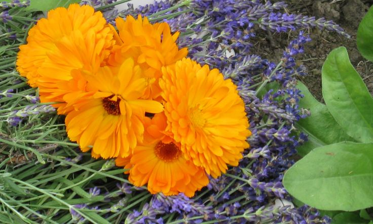 calendula and lavender flowers - The first harvest of 2013 from the Aroma Shoppe