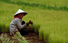 Asian conical hat - Wikipedia, the free encyclopedia