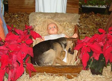 A Nativity Scene was erected in a church yard.  During the night the folks came across this scene.    An abandoned dog was looking for a comfortable, protected place to sleep. He chose baby Jesus as his comfort. No one had the heart to send him away so he was there all night.        We should all have the good sense of this dog and curl up on Jesus' lap from time to time.    Not to mention that the dog breed is a Shepherd ~ The Lord is my Shepherd <3
