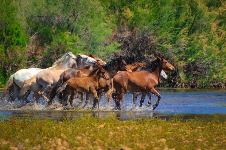 Группа диких лошадей в Солт-Ривер/штат Аризона.