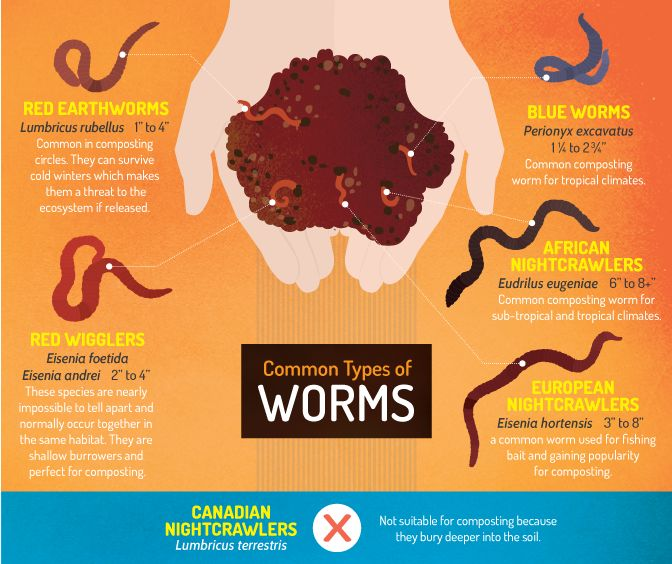Vermicomposting - Common Types of Worms for Vermicomposting. Read more...
