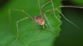 """""""Daddy Long Legs"""" Are Not the Most Poisonous Spider"""