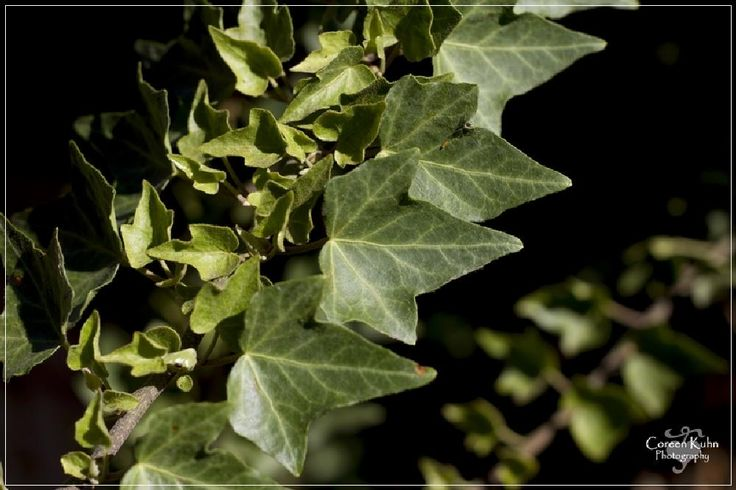 Ivy by CoreenKuhnPhotography