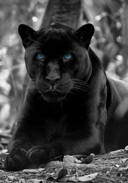 """ravennomad: """"deepsoulfury:"""" Black Panther-Wildlife """"Awesome""""   – Wattpad"""