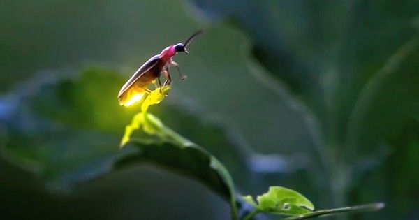Are there actually MORE fireflies this year? – Living Well Connections