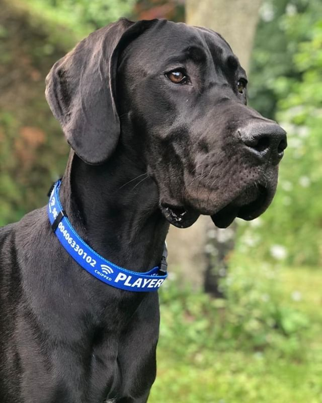 How Majestic Does Player Look In His Personalized Hotdogcollar