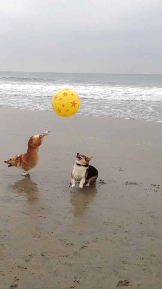 Life's a Beach - So Kick Up Your Heels! | The Extraordinary Adventures of Cuddles, the Pembroke Welsh Corgi (of Cuddles-n-Dena fame) - from Corgi Nation's California Beach Day