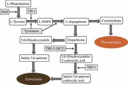 "Melanin production cascade and targets for improving hyper pigmentation (e.g. age spots). ""The melanogenesis and mechanisms of skin-lightening agents – existing and new approaches - Gillbro - 2011 - International Journal of Cosmetic Science - Wiley Online Library"""