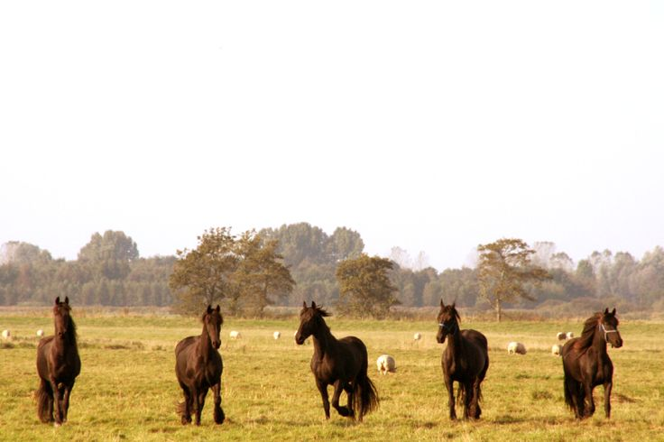 Young friesian horses in a field around Eastermar, NFW, Friesland.