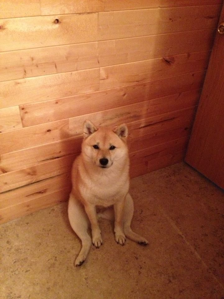 Red Shiba Inu sitting like a human.