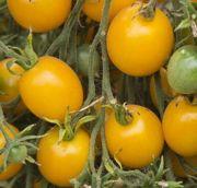 Orange Centiflor - Solanum lycopersicum - Cette variété de tomate cerise orange fut originellement créée en Oregon par Mushroom, (Alan Kapuler) en croisant plusieurs variétés de tomates cerises avec une espèce sauvage de tomate. Elle produit des centaines de fleurs et donc des centaines de petits fruits en énormes grappes impressionnantes.