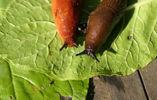 Snegle i haven - nyttedyr eller skadedyr?