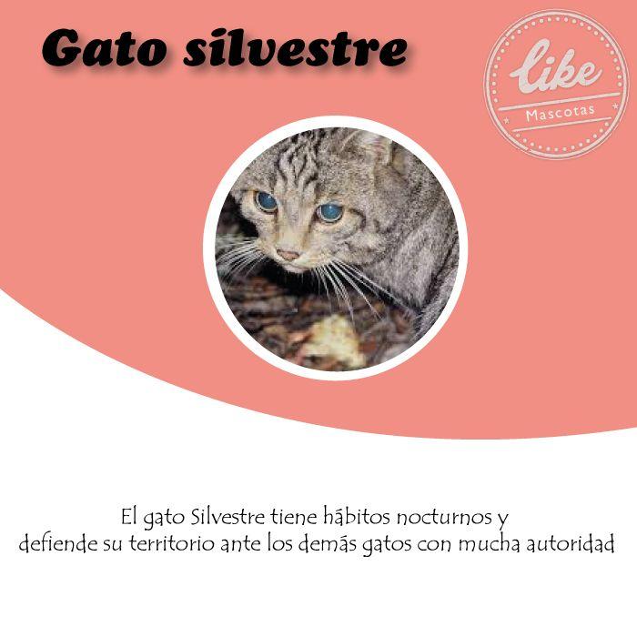 Si quieres un gato, extremo y tierno, el gato silvestre es el indicado