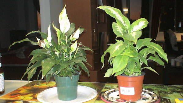 Les 25 meilleures id es concernant fleur lys sur pinterest for Fushia plante interieur ou exterieur