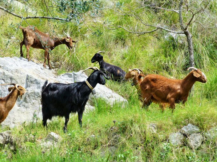 Colourful goats along the path