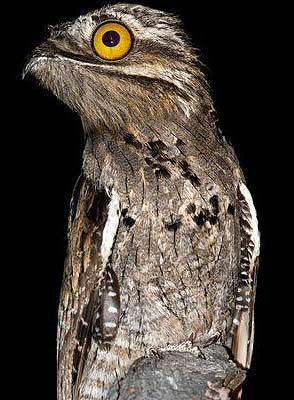 The great potoo is a species of bird. It is the largest bird of the potoo…