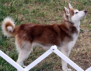 Mini husky....It's a tiny Koda!!  I need him!!!