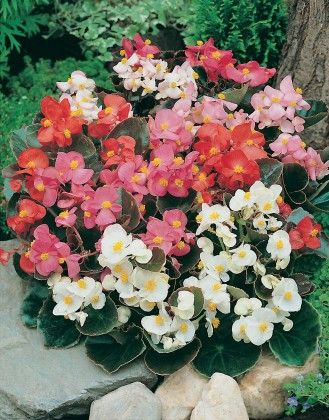 Begonia Dark Leaf Mixed #pohlmansnursery #gardening #australia