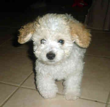 toy poodle puppies | ms. Joyce in the house: Toy poodle