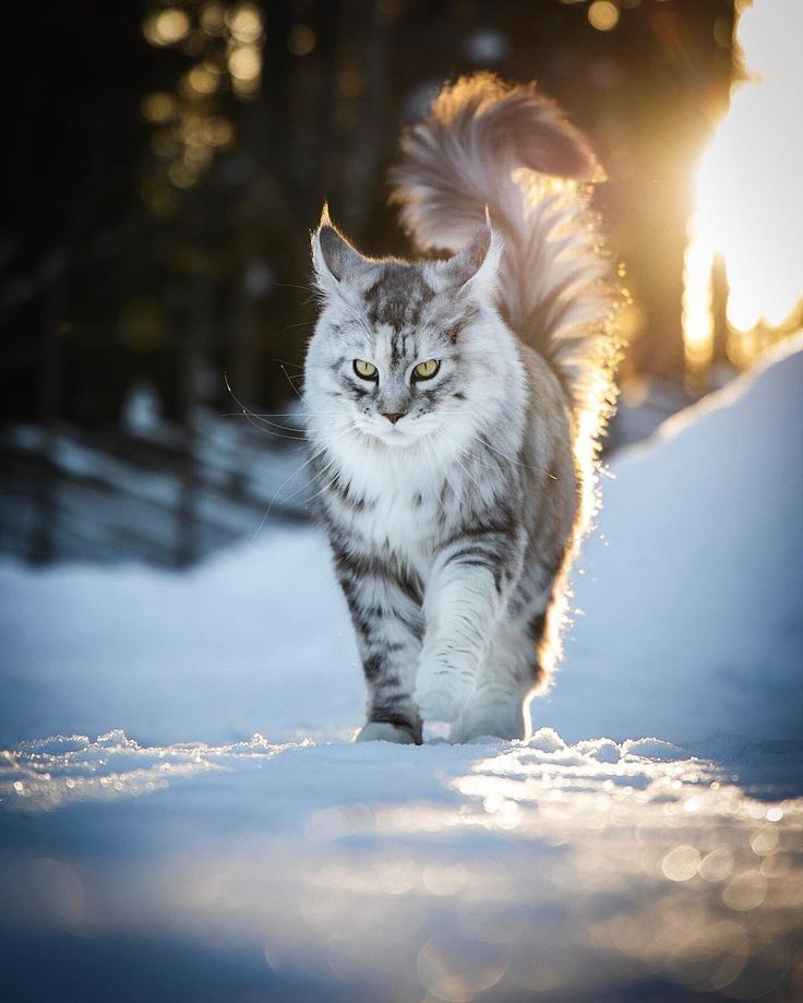 Cat Gig 2019 14 Most Amazingly Beautiful Cat Breeds In