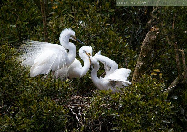 White Heron Sanctuary in New Zealand  #RogersWinterWhites