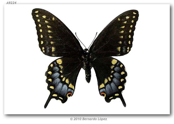 Papilio polyxenes color of the dress