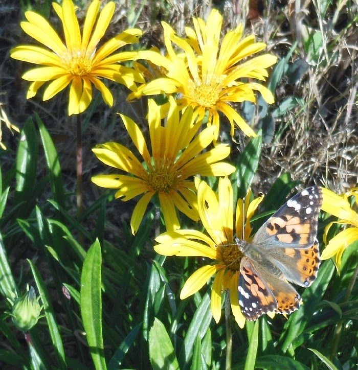 Butterfly on Gazanias, © B. Radisavljevic