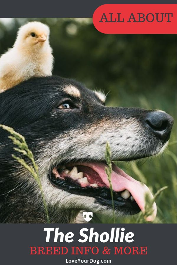 German Shepherd Border Collie Mix Shollie Facts, Puppy