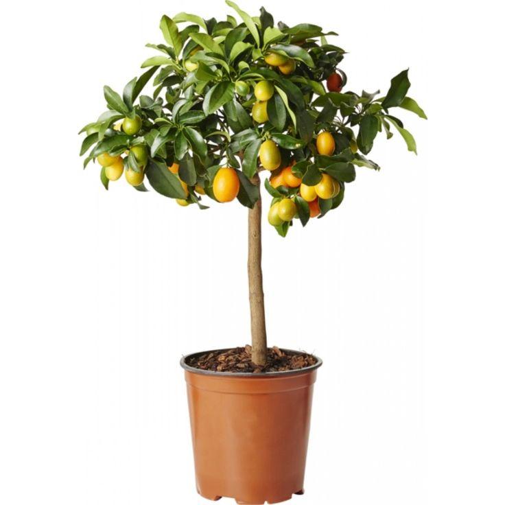 Kumquat på stamme
