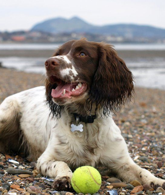 Did you know that there was an English Springer Spaniel on the Mayflower, or that Scottish hero William Wallace had one?