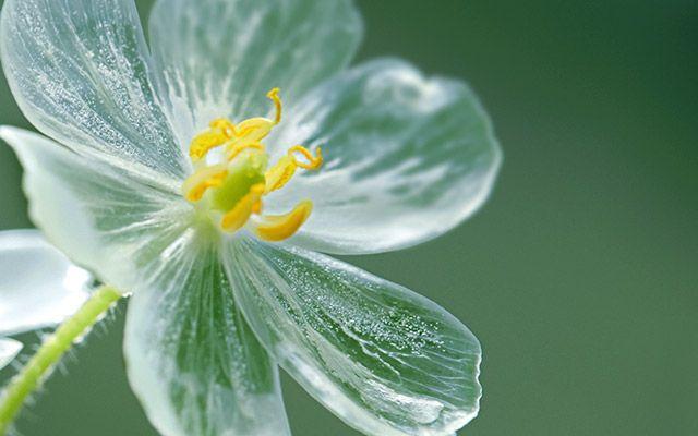 水に濡れると変化する神秘的な花 白い花びらがまるでガラス細工のように – grape [グレイプ] – 心に響く動画メディア 「サンカヨウ(山荷葉)」という花をご存知でしょうか。  メギ科サンカヨウ属の多年草で、本州中部以北から北海道まで分布。山中の湿度が高い場所でよく見られ、直径2センチの綺麗な白い花を咲かせます。 開花時期は、5月後半から7月頃までで、8月頃には食用の青紫色の実をつけます。ブルーベリーのように甘酸っぱく、水分も多いため登山者が口にすることもあるとか。  そして、サンカヨウ一番の特徴といえば、ガラスのように透明になる花びらです。