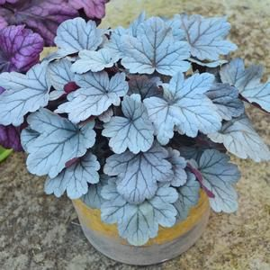 Unique silver foliage sets this NEW Heuchera apart from all the others. Dolce® Silver Gumdrop Heuchera is a Proven Winners® Perennial that is the perfect size for containers as well as planting in the garden or landscape. A great garden addition for four season interest.