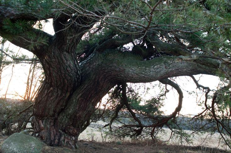 Sosna w Przerodkach – gmina Lubowidz (woj. mazowieckie ) – sosna zwyczajna, wiek ok. 250 lat, drzewo wielopniowe, wysokość ok. 10 m,