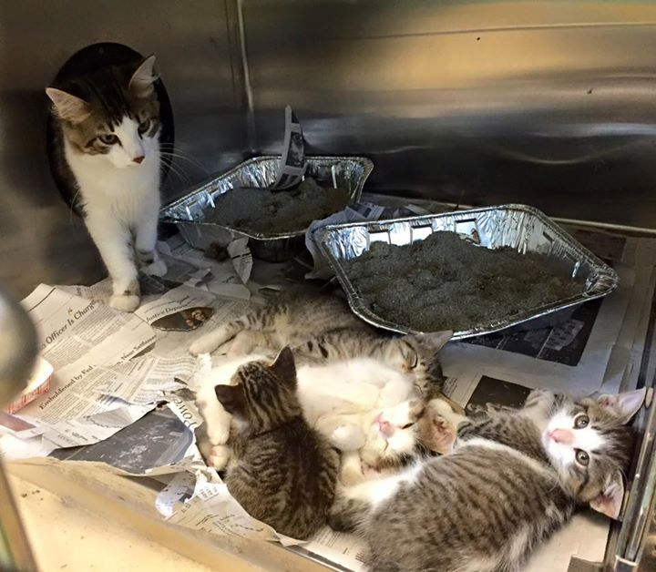 EUTH SCHEDULED 11/12!! K35 Mom + 4 babies 1681708 (mom) 09, 14, 15, 16 Eligible for shelter foster or rescue. How to save: If you can foster or rescue, email RescuePets@HillsboroughCounty.org with Animal ID# in subject line (serious commitments only). Email MUST include your name, contact info & what time you can pick up the cat tomorrow. DO NOT email unless you are personally picking up the cat! The shelter will not hold cats for out of state adopters, so don't email...