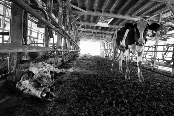 """""""Il suo ritratto fotografico della devastazione rispecchiata nella vita animata e inanimata, incarna la sua richiesta di una soluzione più razionale al problema della fornitura di energia, una soluzione in grado di consentire alle persone di perseguire una vita normale senza paura"""" N. Rosenblum  Pierpaolo Mittica (2011) Animali abbandonati, Namie dalla serie Fukushima 'No-Go zone'"""