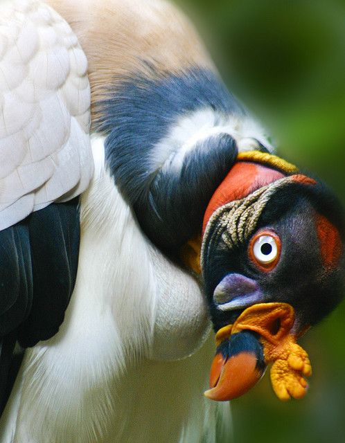 by Alan Shapiro - Playing coy. King Vulture. (Actually a Queen King Vulture) She thinks I'm hot. Or she thinks I'd be tasty.
