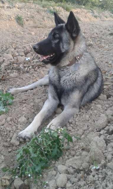 MIL ANUNCIOS.COM - Regalo perro. Compra-venta de perros regalo perro en Alicante. Regalo de cachorros..