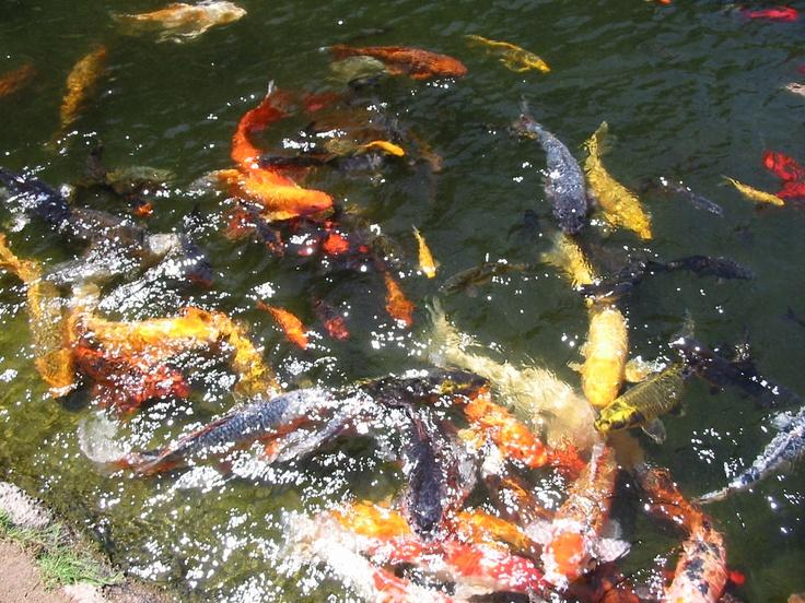 Koi Pond, Japanese Gardens, Long Beach Japanese garden